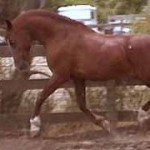 Cantador [Kimfa x Auralu] trotting at liberty