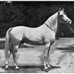 Khafifan 1916 (Mabrouk Manial x Negma) Imp. to Poland 1924 by Count Potocki