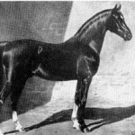 """Khaled No. 5, red chestnut Arabian stallion, foaled in 1895, bred by   Randolph Huntington. Standing 15-3 1/2 hands, Khaled is an outstanding example   of intense in-breeding. The picture was made for James A. Lawrence, first president   of the Arabian Horse Club, by the well known artist and photographer of horses,   George Ford Morris. Copyrighted in 1908, this picture and the one of Nimr is   used by permission of Mr. Lawrence."""