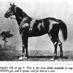 Naaman 116 ch. st. foaled 1896 by Anazeh and out of *Nazli, bred by Huntington.
