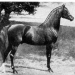 "Nimr No. 252, ""red chestnut Arabian stallion, 15-1 hands high. Imported from England   by Randolph Huntington in 1891, Nimr was bred to his grand-dam, Naomi (15-2   hands) to produce Khaled (15-3 1/2). Picture by George Ford Morris."""