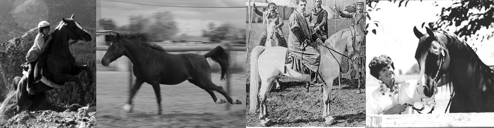 CMK Arabian Horses